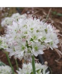 Allium howellii var. clokeyi