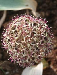 Allium minutiflorum SLIZE-273