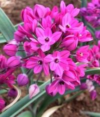 Allium oreophilum dwarf