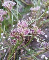 Allium tauricola Alan