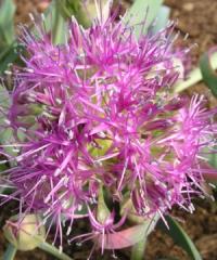 Allium tolmiei var. platyphyllum