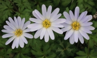 Anemone blanda Tender Beauty