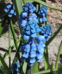 Bellevalia forniculata