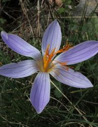 Crocus  hellenicus