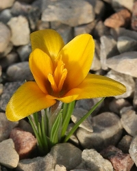 Crocus korolkowii Golden Nugget