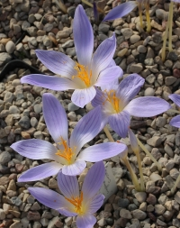 Crocus  polyanthus