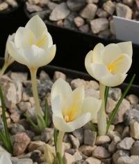 Crocus  boryi yellowish 16GRA-197