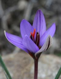 Crocus roseoviolaceus