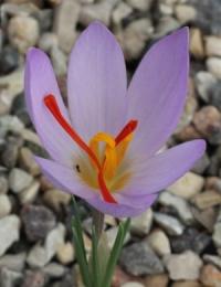 Crocus  thomasii