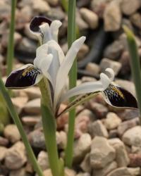 Iris  zagrica