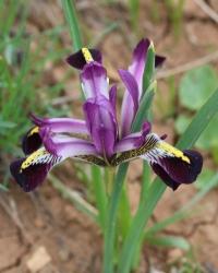 Iris  marivanica