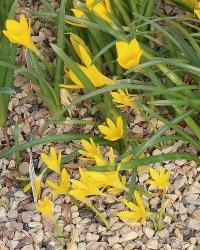 Sternbergia greuteriana