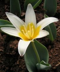 Tulipa berkariensis