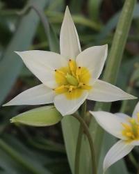 Tulipa biflora WHIR-040