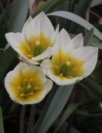 Tulipa turkestanica Zaamin