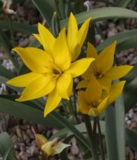 Tulipa ophiophylla subsp. bestashica
