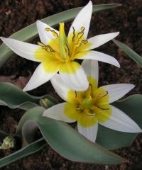 Tulipa orythioides