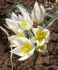 Tulipa turkestanica Nuratau