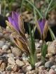 Crocus gembosii x concinnus