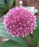 Allium karataviense subsp. henrikii