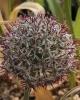 Allium scotostemon