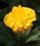 Anemone ranunculoides Tillu