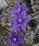 Brodiaea stellaris