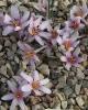 Colchicum hirsutum