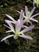 Colchicum montanum