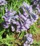 Corydalis    turtschaninovii Gorin