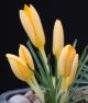 Crocus angustifolius Gold