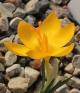 Crocus chrysanthus  Mt. Falakro