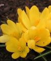 Crocus gramensis