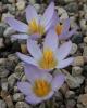 Crocus danfordiae RUDA-096 East  gr.