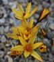 Crocus gembosii x concinnus MAGIC TOUCH