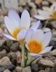 Crocus isauricus