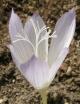 Crocus  karduchorum
