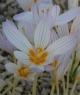 Crocus  hatayensis HKEP-9205
