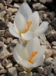 Crocus  mazziaricus 16GRS-008