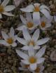 Crocus micranthus