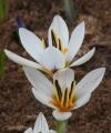 Crocus pseudonubigena