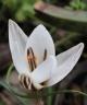 Crocus rhodensis