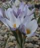 Crocus species nova (?), biflorus gr. KPPZ-052