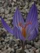 Crocus  speciosus CMGG-034