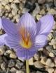 Crocus  speciosus aff. 16IRS-069