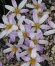 Crocus versicolor