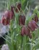Fritillaria grandiflora