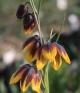 Fritillaria reutheri