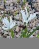 Iris  avromanica