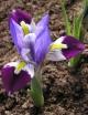 Iris  kolpakowskiana Alma Ata